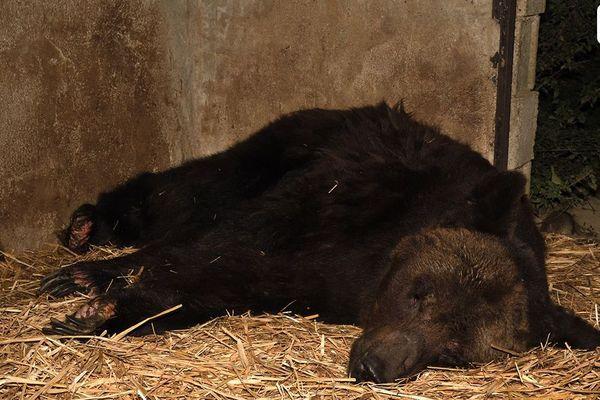Mischa, l'un des trois ours, que l'association One Voice souhaite se voir confier.   Photo prise en septembre 2019 dans le Loir-et-Cher au domicile du dresseur d'ours Sacha Poliakov.