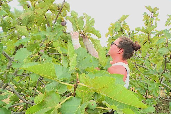 Salses-le-Château (Pyrénées-Orientales) : Manon Colmaire a rejoint l'exploitation familiale. Elle participe à sa première récolte de figues. Septembre 2021.