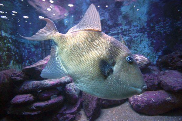 """Le Baliste commun, poisson """"caractériel"""", peut goûter les jambes et pieds des baigneurs."""