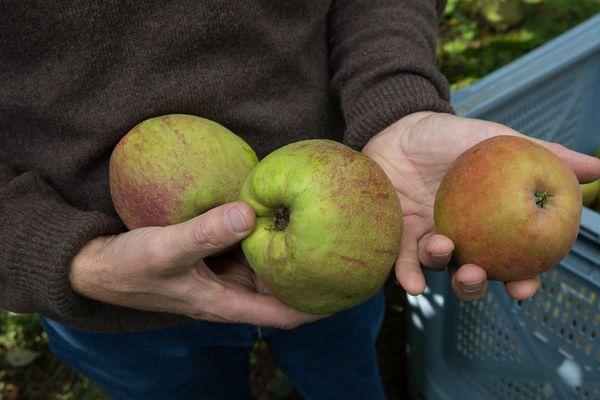 Materne recrute des cueilleurs de pommes dans l'Aisne