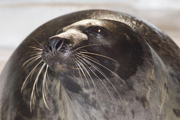 Pierro, le phoque du Groenland, a passé 20 ans à Océanopolis