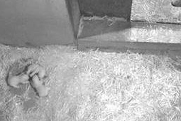 Durant leurs trois premiers mois de vie, les oursons, vont rester dans leur tanière avec leur mère. Il faudra attendre le mois de mars pour les voir gambader.