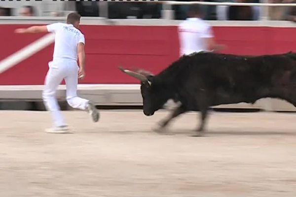 Le raseteur tente d'attraper un attribut accroché au cornes d'un taureau, nommé cocardier ou bioù en provençal