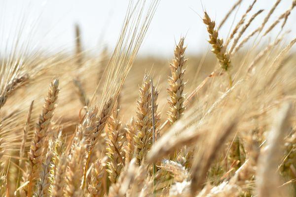 La sécheresse atteint aussi les agriculteurs de la Seine-et-Marne qui craignent pour leurs récoltes.