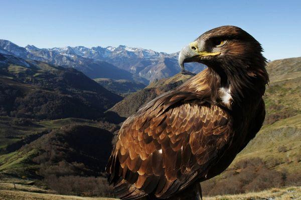 Un aigle royal a été tué par une pale d'éolienne à Joncels dans l'Hérault - septembe 2017