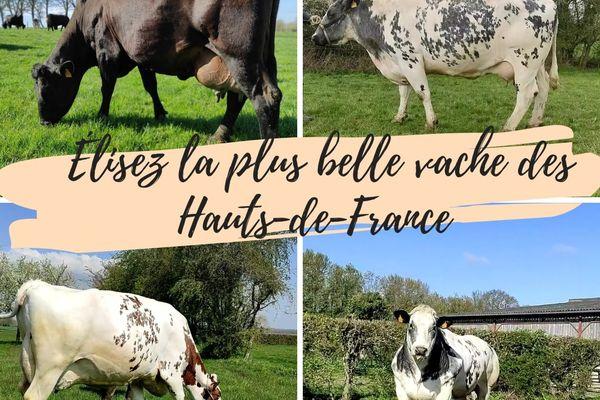 Le concours pour élire la plus belle vache de France se tient du 10 au 24 mai sur la page Facebook La gastronomie des Hauts-de-France.