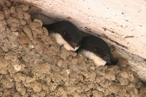 Depuis 30 ans en France, 42% des hirondelles rustiques ont disparu, et 39% des hirondelles de fenêtres. La disparition de leurs nids est l'une des causes de cette hécatombe.