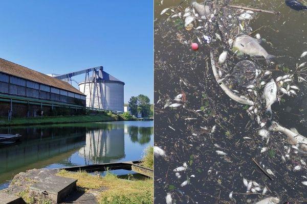 Des dizaines de milliers de poissons sont morts dans l'Escaut lors des jours qui ont suivi la rupture d'une digue à l'usine sucrière Tereos d'Escaudœuvres.