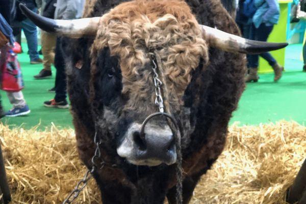 Jocond - Mâle Aubrac de 5 ans. Concours général Agricole, Paris 2019. 1er prix espèce bovine.