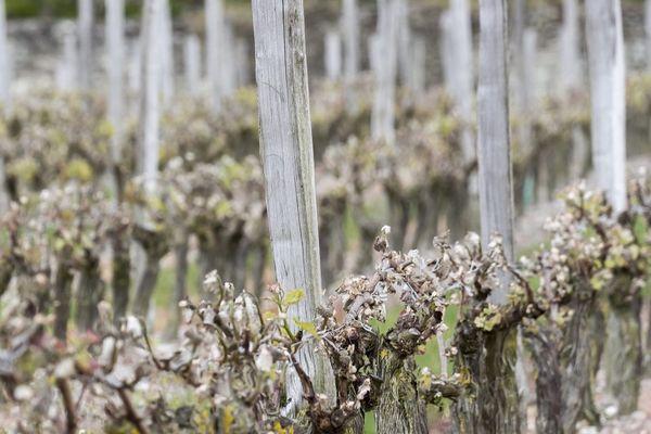 Le vignoble de Cahors est l'un des plus touché en France par le gel tardif au printemps dernier.