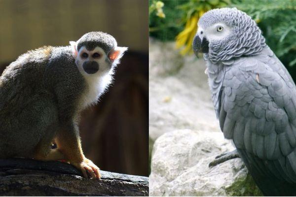 """Ce sont 2 singes """"écureuil"""" et 1 perroquet gris du Gabon qui ont été volés la nuit dernière"""