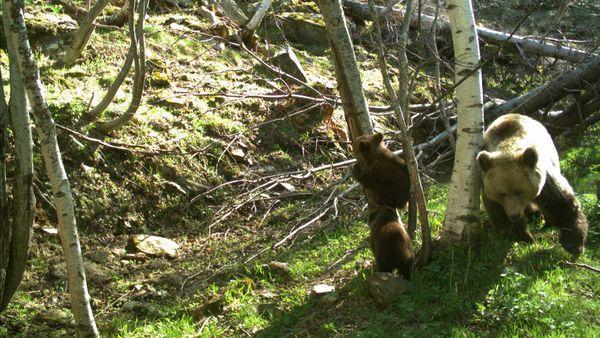 Les oursons et leur mère