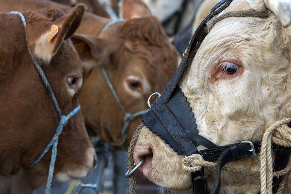 Le sommet de l'élevage prévu du 7 au 9 octobre près de Clermont-Ferrand a été annulé.