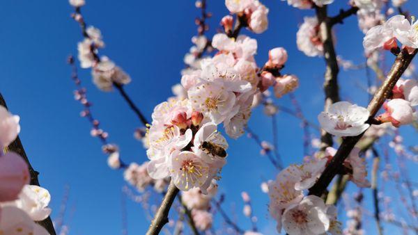 Les abeilles viennent déjà butiner.