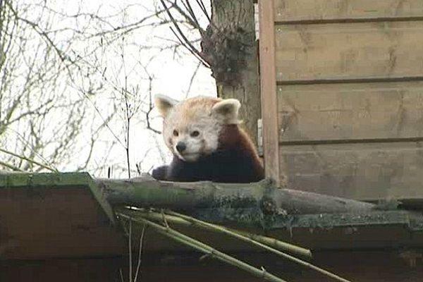 Fin d'hibernation pour les pandas roux du zoo de Lille.