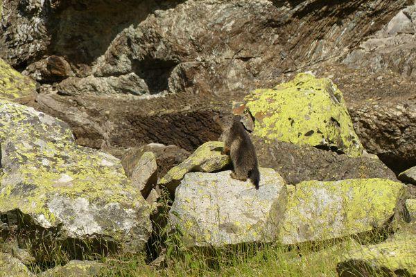 La marmotte, mammifère sentinelle des montagnes, a-t-elle des portées plus réduites lorsqu'il neige moins en montagne ?