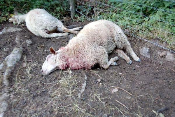 Des brebis attaquées par le loup en Haute-Saône le 3 septembre 2020