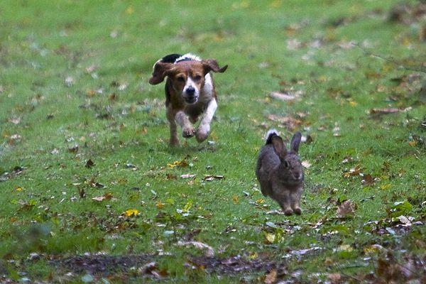 C'est ce type de chien, de la race des Beagle, qui a surgit près d'un lotissement de Laillé.