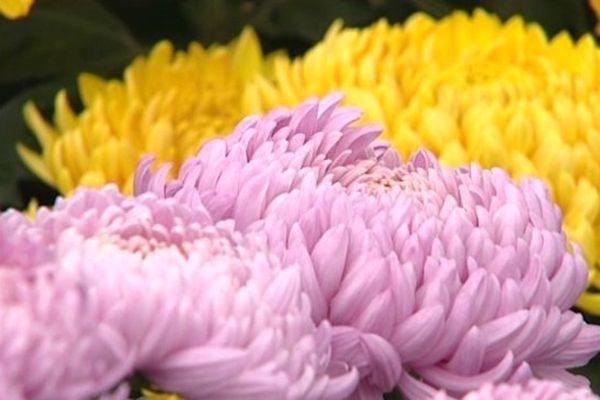 Le chrysanthème, fleur de saison ...