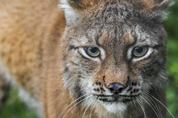 Le lynx est une espèce protégée en France, c'est dans le Jura que sa population est le mieux préservée, mais reste menacée.
