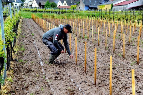 Adrien Hattermann constate le vol des ses pieds de vignes : il ne reste que les tuteurs