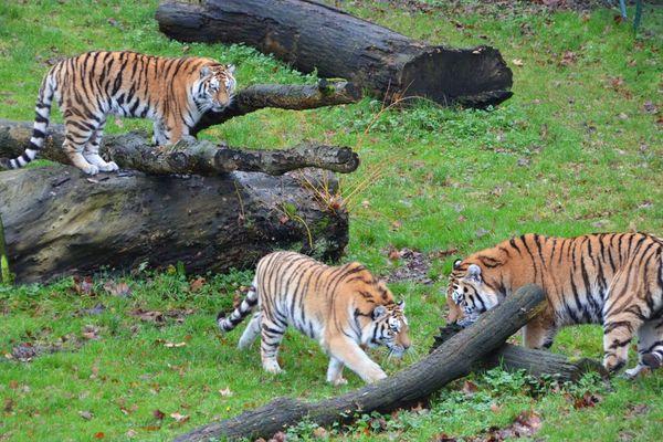 Quatre tigres de Sibérie vont faire leur entrée au zoo de Bellewaerde en Belgique.