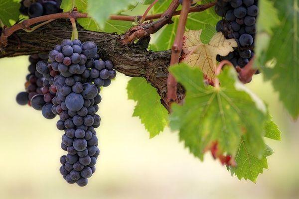 Les grappes sont nombreuses sur les vignes. Photo d'illustration