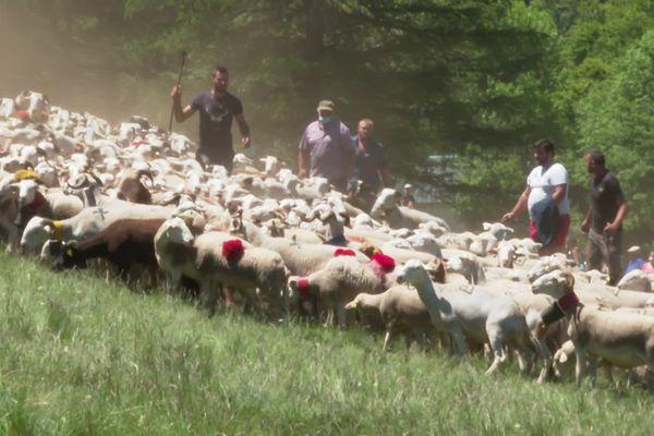 Les moutons et les brebis vont passer l'été dans les estives