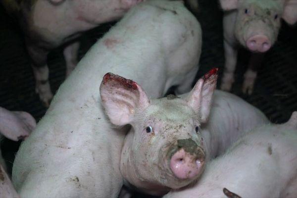 Mercredi 7 octobre, l'association de défense des animaux L214 a publié une vidéo tournée dans un élevage intensif de porcs de Barrais-Bussolles, dans l'Allier, où l'on voit des cochons en souffrance.