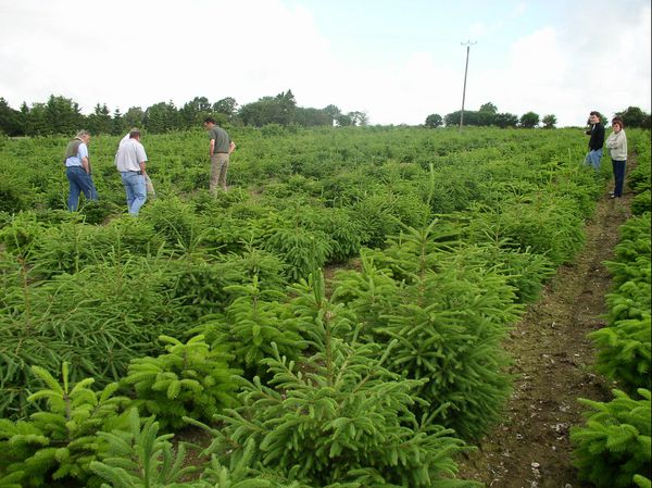 Plantation de sapins.