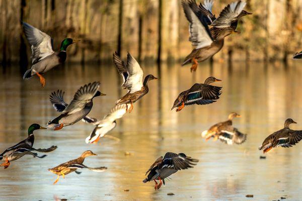 Plusieurs cas d'influenza aviaire ont été détectés en Europe parmi la faune sauvage, des précautions sont prises pour protéger les animaux d'élevage