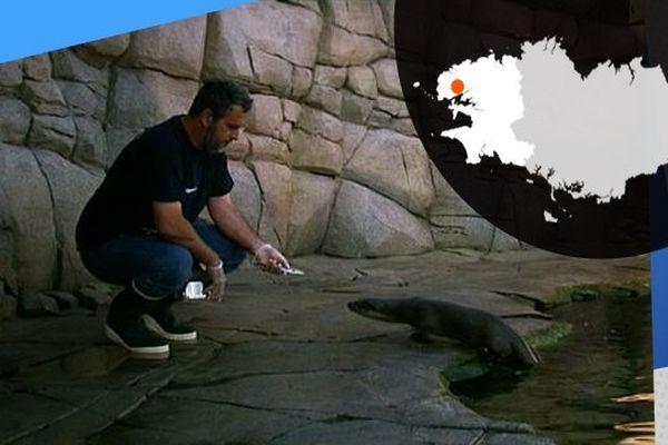L'heure du repas pour une loutre sauvage à Océanopolis