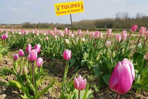 Le champs de tulipes dont la production devait être vendue en faveur de la recherche contre le cancer, près de Rouillac en Charente.