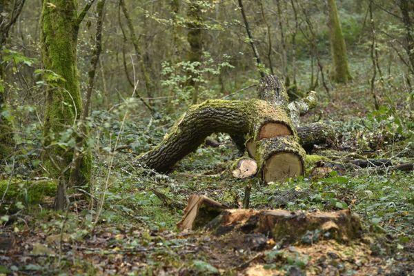 Dans la forêt de Chailluz, les frênes atteints de la chalarose doivent être abattus.