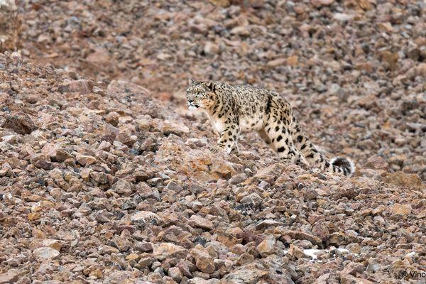 Camouflée dans son environnement de pierres, la panthère a failli échapper au regard du photographe