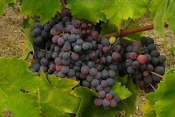 ILLUSTRATION - Les vendanges ont débuté dans la plupart des domaines viticoles de l'AOC Ajaccio.