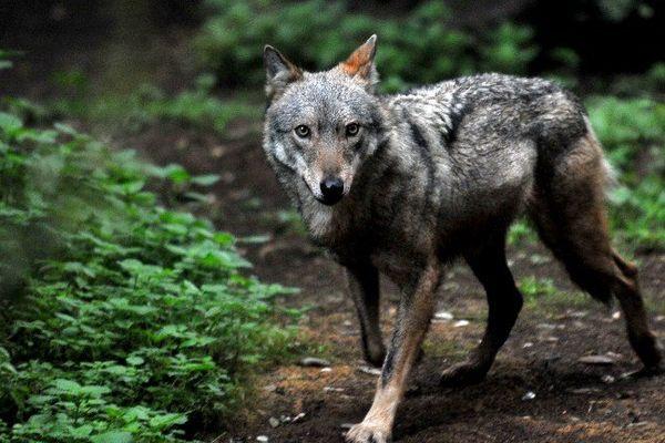 Un loup recueilli dans un zoo italien en 2014