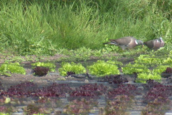 D'habitude nourris pas les chasseurs, les pigeons ramiers ont dû se nourrir dans les hortillonnages pendant le confinement.