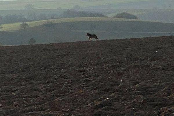 Le loup s'enfuit vite : difficile de le photographier de près.