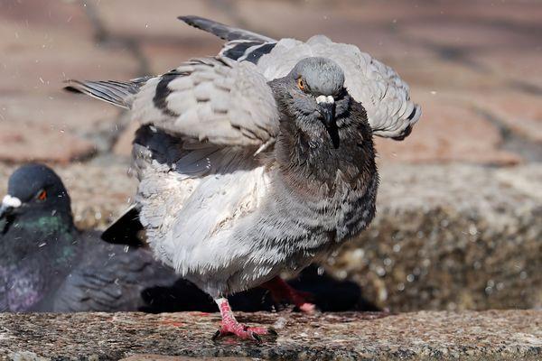 Les pigeons de Sablé-sur-Sarthe vont y laisser des plumes