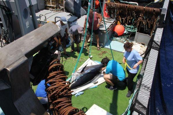 Les thons ont été équipés lors d'une campagne de pêche au sud de Malte.