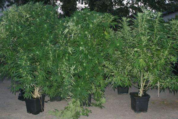 Les plans d'herbe de cannabis se trouvaient dans le jardin d'une maison à l'abri des regards