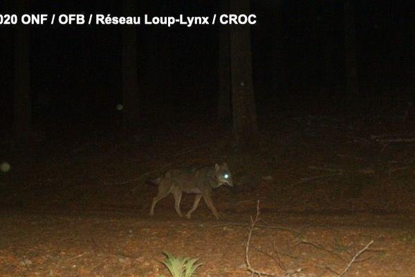 Un loup a été photographié le 12 juin dans le massif du champ du feu dans le Bas-Rhin.