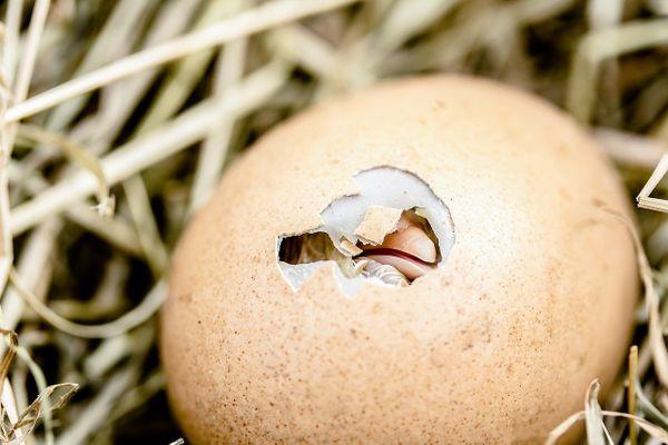 L'interdiction du broyage des poussins mâles pourrait entrer en vigueur en France en 2022.