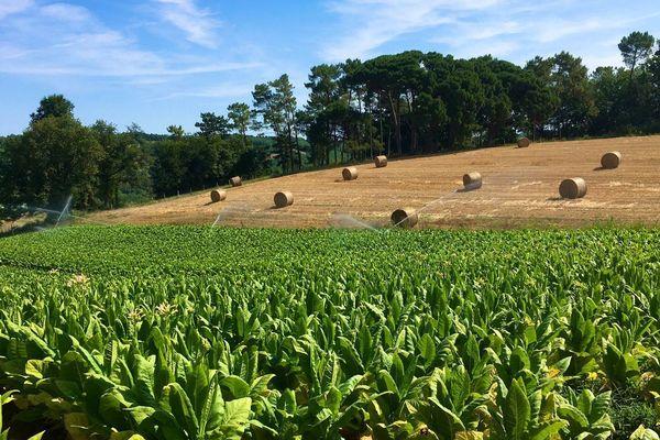 Situé à Beaumontois-en-Périgord, ce champ de tabac est déjà touché par la sécheresse.