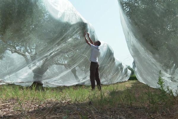Aude - Ces filets isolent les oliviers des mouches prédatrices. août 2021.