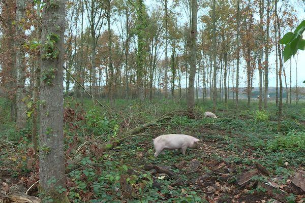 Les cochons se nourrissent eux-mêmes sur leur parcelle où ils évoluent librement.