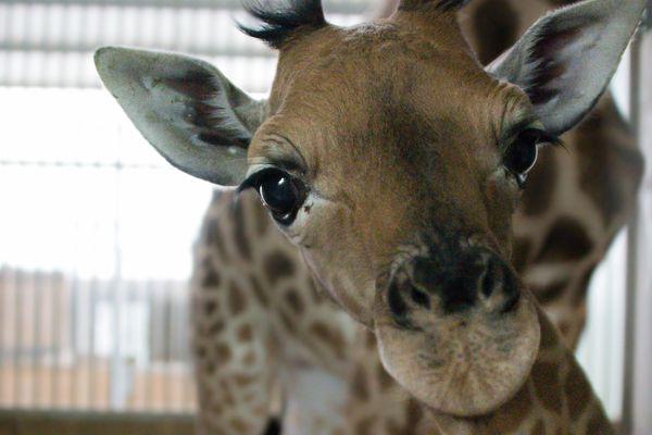 Ce girafon, né le 30 décembre 2019, est le petit dernier de la famille girafe du Touroparc.