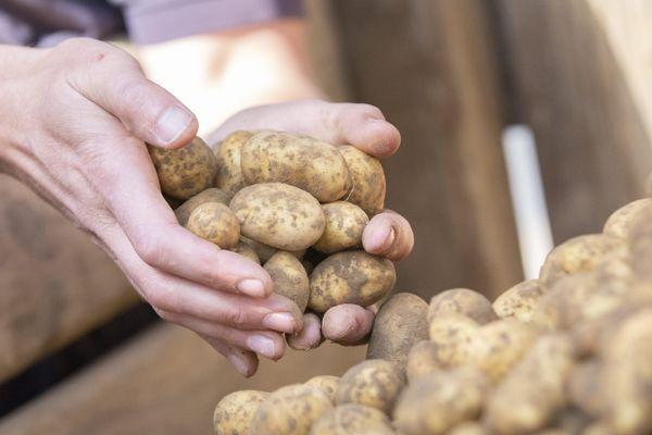 En 2020, 200.000 tonnes de pommes de terre sont restées invendues.