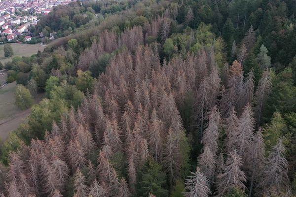 Des arbres morts comme brûlés par le soleil : 10 % de la forêt vosgienne est décimée par la sécheresse et le scolyte en septembre 2020